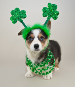 Silly Corgi puppy all dressed up for St Patrick's Day.
